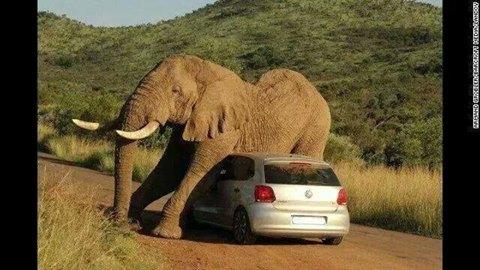 Define elephantine